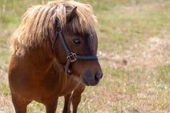 Un cheval miniature frôlant dans le pâturage photographie stock libre de droits
