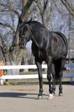 Un cheval noir Photo stock