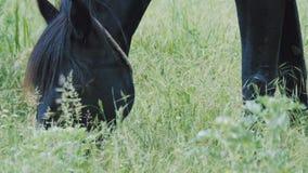 Un cheval noir frôle dans un pré et mange l'herbe verte banque de vidéos