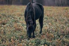 Un cheval noir solitaire Images stock