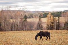 Un cheval noir solitaire et mince Images stock