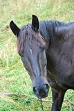 Un cheval noir vous observant Photo libre de droits