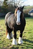 Un cheval puissant de traite/comté Photo libre de droits