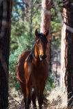 Un cheval sauvage brun le long du chemin forestier dans AZ Images stock