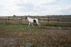 Un cheval sauvage fonctionne par un pré à une ferme images libres de droits