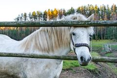 Un cheval seul est ennuyé et veut communiquer image libre de droits