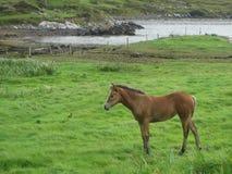 Un cheval sur l'herbe près du fjord d'océan, Irlande Images stock