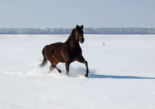 Un cheval trotte sur le champ de neige Photo stock