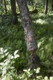 Un chew del castor de un santuario en Massachusetts Foto de archivo libre de regalías
