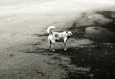 Un chien égaré Photos stock
