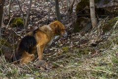 Un chien égaré dans la forêt Photos libres de droits