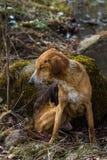 Un chien égaré dans la forêt Photo libre de droits