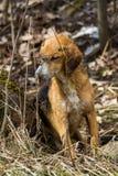 Un chien égaré dans la forêt Image libre de droits