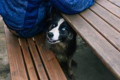 Un chien égaré se repose sous une table et demande la nourriture d'une personne Crabot avec des ?il bleu Chien affam? de rue photographie stock libre de droits