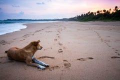 Un chien égaré se trouvant sur une plage sablonneuse regardant dans le deistance par l'océan dans Sri Lanka Photos stock