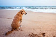 Un chien égaré sur une plage regardant vers l'océan dans Sri décharné Photos libres de droits