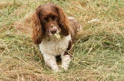 Un chien adorable mais très vilain d'épagneul de springer anglais déchirant sa boule aux morceaux Images libres de droits