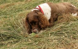 Un chien adorable mais très vilain d'épagneul de springer anglais déchirant sa boule aux morceaux Photo libre de droits