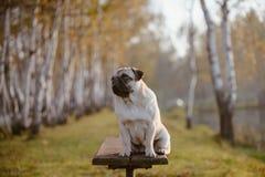 Un chien adulte, roquet, femelle se repose sur un banc en parc pendant le coucher du soleil et l'heure d'or photos stock