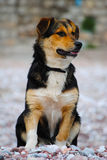 Un chien affamé examinant la distance Photos libres de droits