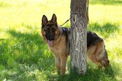 Un chien attaché à un arbre en plein air Photo libre de droits