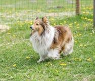 Un chien aux cheveux longs de colley marche sur l'herbe verte photographie stock libre de droits