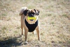 Un chien avec le jouet de compression Photo stock
