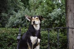 Un chien avec un sein blanc, des yeux jaunes et une oreille debout image libre de droits