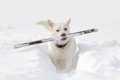 Un chien avec un bâton image libre de droits