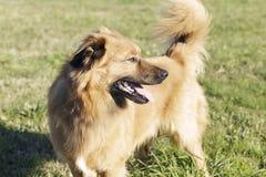 Un chien Basque an de mâle de berger Photographie stock libre de droits