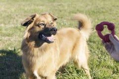 Un chien Basque an de mâle de berger Images libres de droits