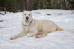 Un chien blanc dans la neige et regarder directement le fond de la forêt d'hiver photo stock