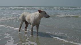 Un chien blanc solitaire se tient dans les vagues de l'Océan Indien 4K banque de vidéos