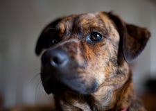 Un chien brindled adorable photographie stock