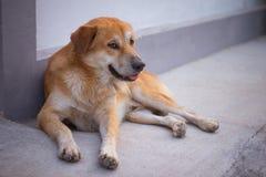 Un chien brun attend son propriétaire sur la rue Photos stock