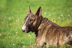 Un chien brun de bull-terrier se situant dans l'herbe et regardant vers nous Images stock