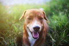 Un chien brun mignon se trouvant sur l'herbe verte Images libres de droits
