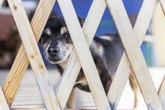 Un chien brun regardant par une barrière Photo libre de droits