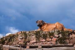 Un chien dévoué Images libres de droits