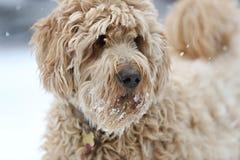Un chien d'or de griffonnage dans la neige Image libre de droits