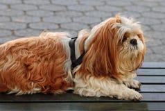 Un chien dans un besoin d'une coupe de cheveux Photo stock
