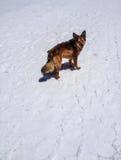 Un chien dans la montagne de neige regarde en arrière Photo libre de droits