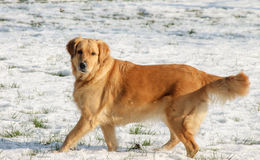 Un chien dans la neige photos stock