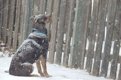 Un chien dans la tempête de neige Photographie stock