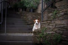 Un chien dans la ville Déplacement avec l'animal familier Petit Jack Russell Images stock