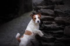 Un chien dans la ville Déplacement avec l'animal familier Petit Jack Russell Photos stock