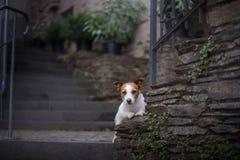 Un chien dans la ville Déplacement avec l'animal familier Petit Jack Russell Images libres de droits