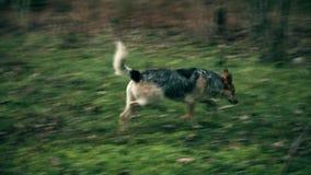 Un chien dans le sauvage, recherchant la nourriture clips vidéos