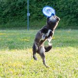 Un chien dans une herbe jouant avec un frisbee photo stock