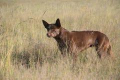 Un chien de berger alerte de kelpie photographie stock libre de droits